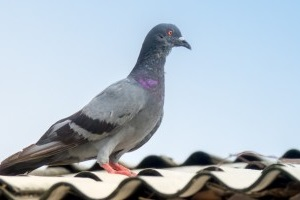Pigeon Pest, Pest Control in Clayhall, IG5. Call Now 020 8166 9746