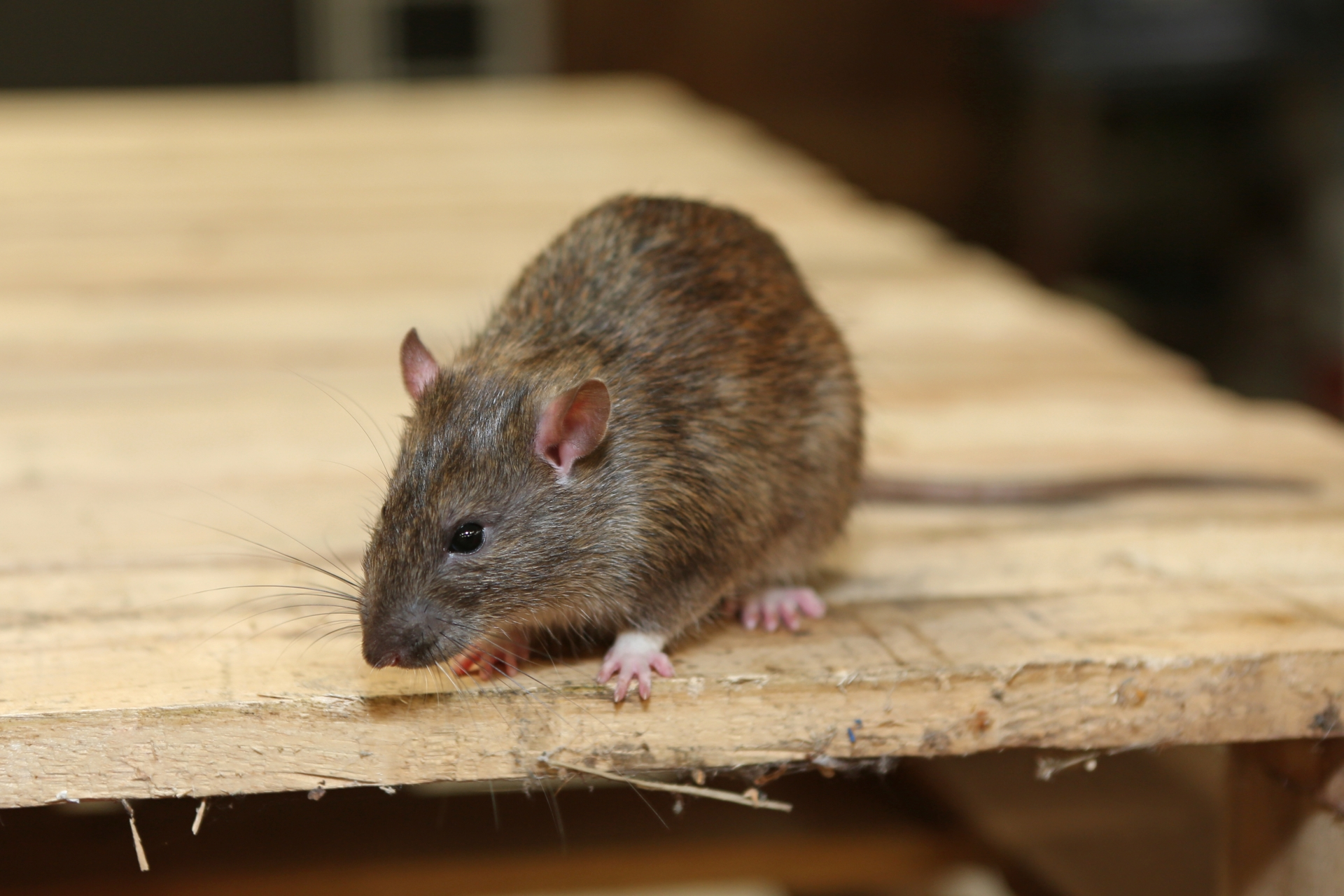 Rat extermination, Pest Control in Clayhall, IG5. Call Now 020 8166 9746