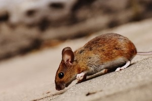 Mouse extermination, Pest Control in Clayhall, IG5. Call Now 020 8166 9746