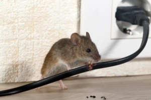 Mice Control, Pest Control in Clayhall, IG5. Call Now 020 8166 9746